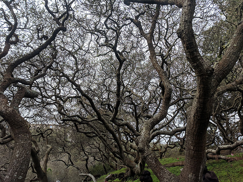 Live-oaks-along-Lobos-Creek 20190119 111838.jpg