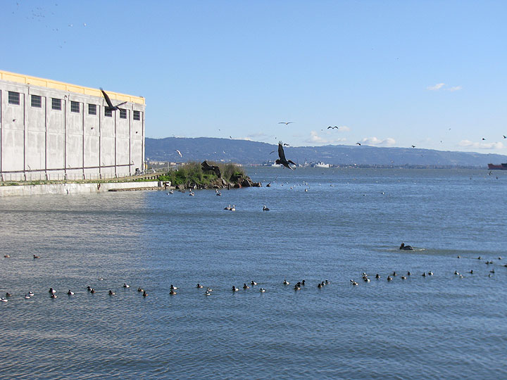 Pelicans-and-coots-off-warm-water-cove-2013 1663.jpg